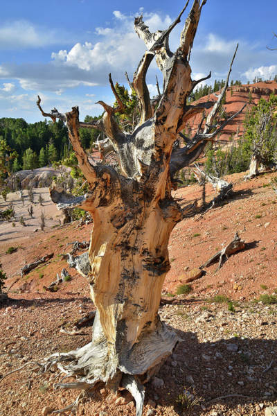 Photograph - Classic Bristlecone by Ray Mathis