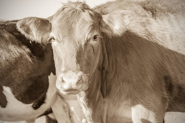 Photograph - Classic Cattle by James  Meyer
