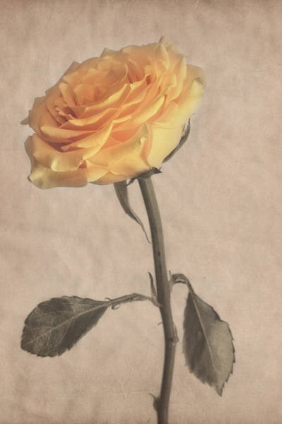 Photograph - Classical Yellow Rose by Garvin Hunter