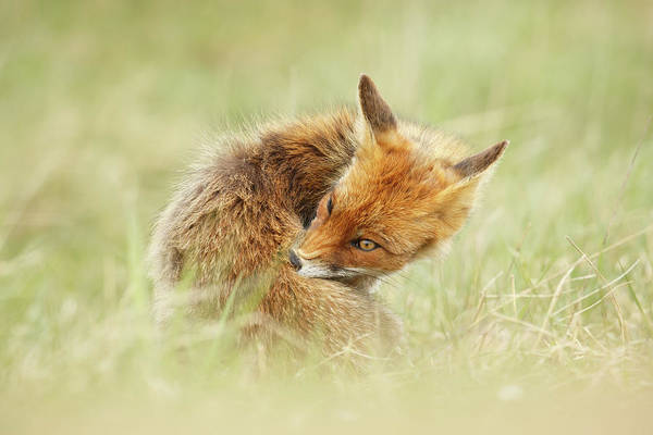 Close Encounters Wall Art - Photograph - Clean Fox by Roeselien Raimond