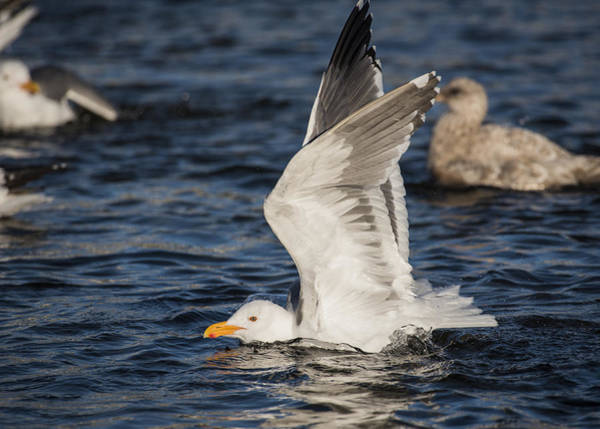 Photograph - Clean Gull by Robert Potts