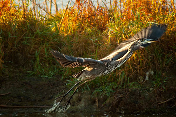 Horicon Marsh Photograph - Cleared For Take Off by Matt Steffen