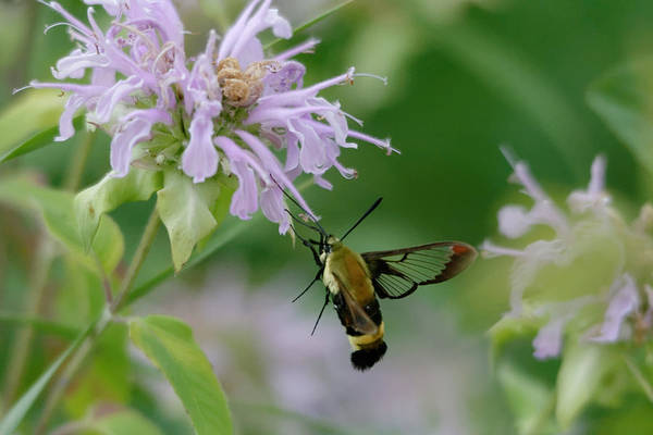 Photograph - Clearwing Moth by Peter Ponzio