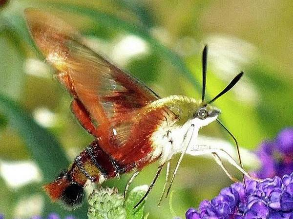 Clearwing Moth Photograph - Clearwing Hummingbird Moth - In Motion by Cindy Treger