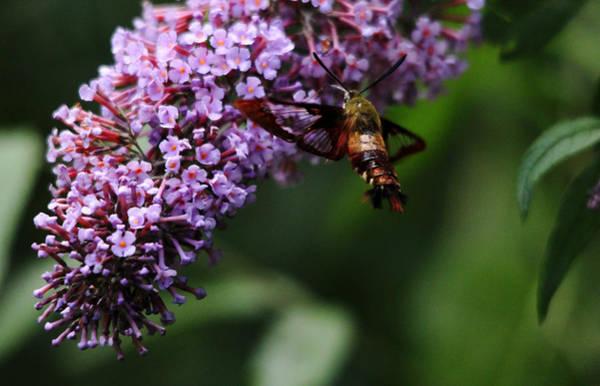 Hemaris Photograph - Clearwing Hummingbird Moth by Debbie Oppermann