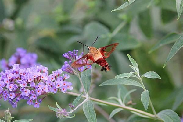 Clearwing Moth Photograph - Clearwing Hummingbird Moth On Purple Flowers by Linda Crockett