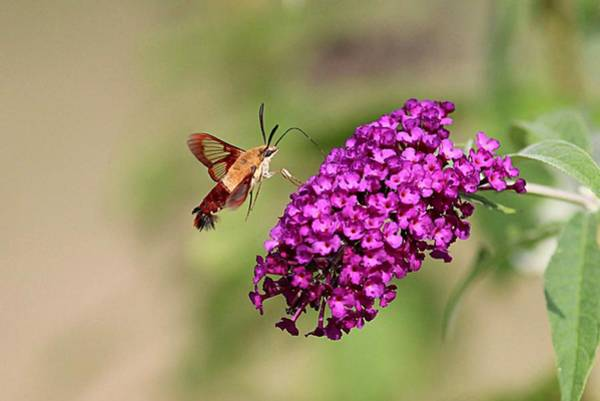 Clearwing Moth Photograph - Clearwing Moth And Purple Flowers by Linda Crockett