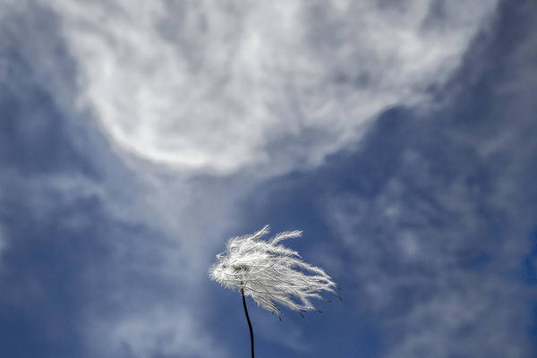 Photograph - Clematis And Clouds by Steven Schwartzman