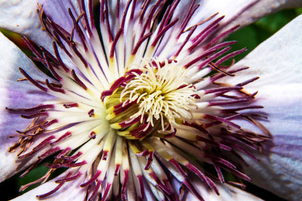 Photograph - Clematis Center by Barry Jones