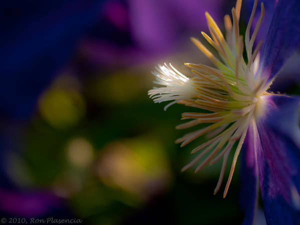 Wall Art - Photograph - Clematis Fantasy by Ron Plasencia