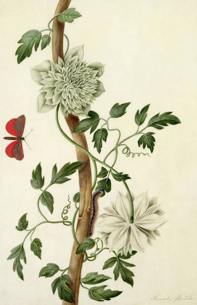 Butterfly Drawing - Clematis Florida With Butterfly And Caterpillar by Matilda Conyers