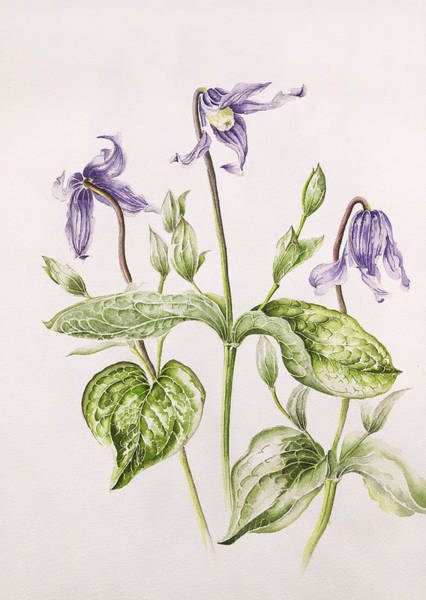 Clematis Wall Art - Painting - Clematis Integrifolia by Alison Cooper