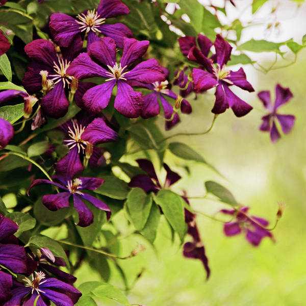 Clematis Wall Art - Photograph - Clematis On The Vine by Jessica Jenney
