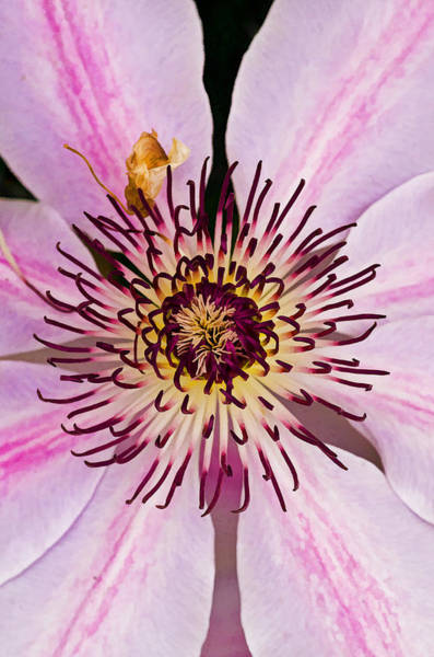Photograph - Clematis by Pete Hemington
