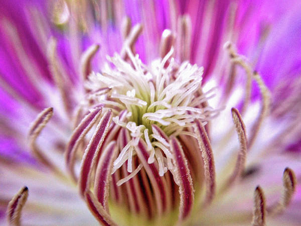 Photograph - Clematis So Pink by Susan Maxwell Schmidt