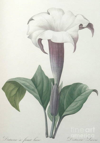 Wall Art - Painting - Climbing Angel Trumpet by Pierre Joseph Redoute