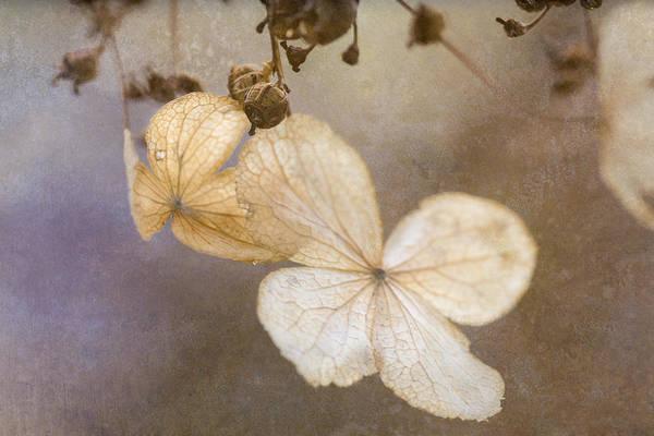 Photograph - Climbing Hydrangea by Tom Singleton
