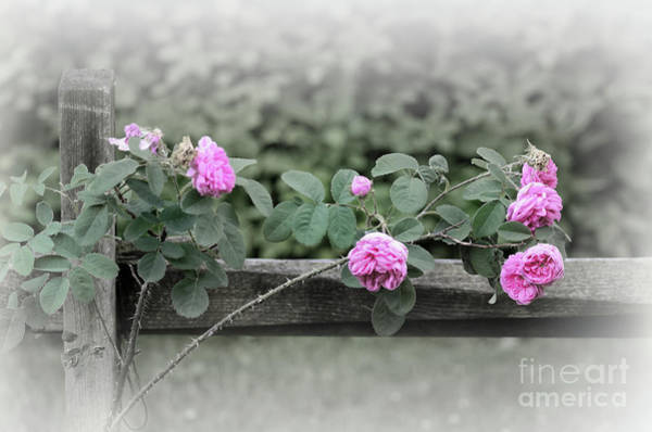 Photograph - Climbing Pink Roses by Karen Adams