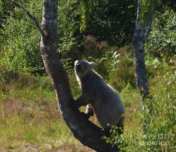 Photograph - Climbing Polar Bear  by Phil Banks