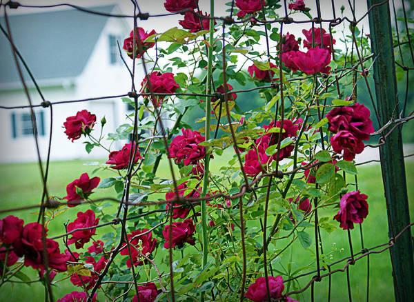 Photograph - Climbing Roses by Cricket Hackmann