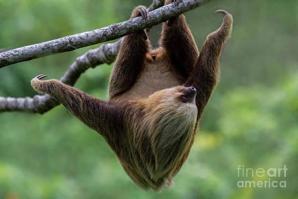Photograph - Climbing Three-toed Sloth  by Heiko Koehrer-Wagner