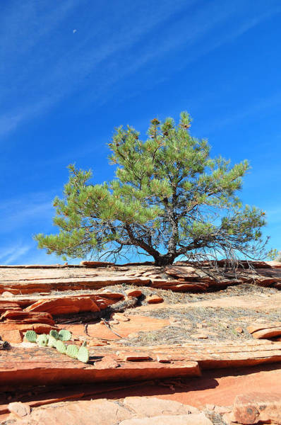 Clinging Tree In Zion National Park Art Print