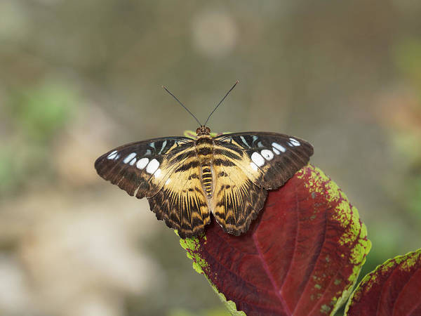 Photograph - Clipper Butterfly by Paul Gulliver