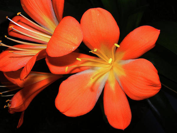 Clivia Wall Art - Photograph - Clivia by Wilma Stout
