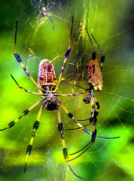 Golden Orb Spider Photograph - Close Neighbors by David Lee Thompson