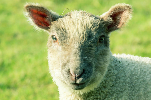 Photograph - Close Up A Baby Lamb by Jacek Wojnarowski