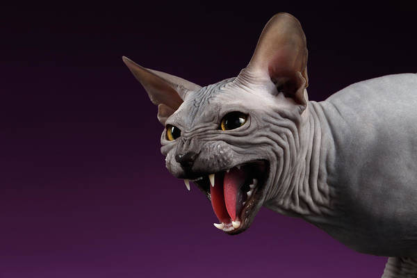 Beautiful Cats Wall Art - Photograph - Close-up Aggressive Sphynx Cat Hisses On Purple by Sergey Taran