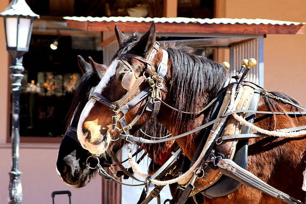 Photograph - Close Up Clydesdale Horses by Colleen Cornelius