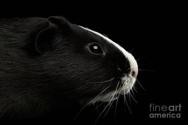 Wall Art - Photograph - Close-up Guinea Pig On Isolated Black Background by Sergey Taran