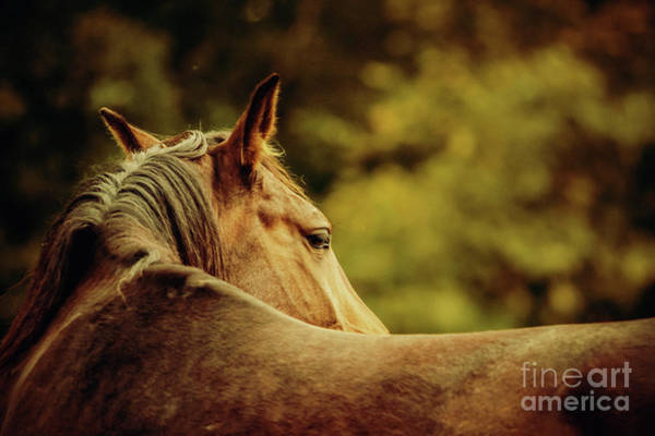 Photograph - Close-up Of A Horse Head Horse Warm Sunny Colors Portrait by Dimitar Hristov