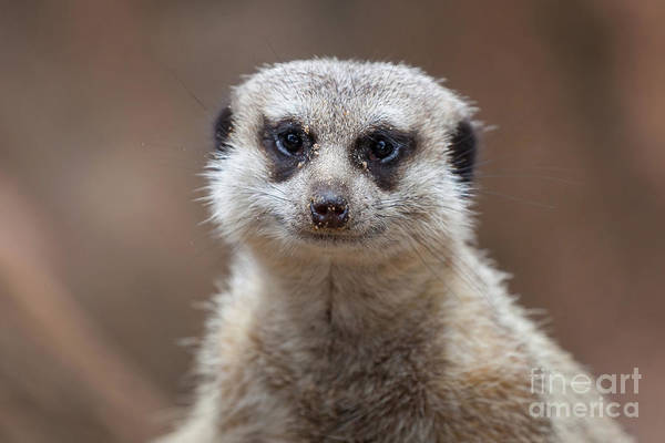 Photograph - Close Up Of A Meerkat Looking At The Camera by PorqueNo Studios