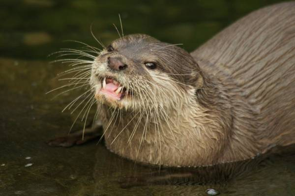 Aonyx Cinerea Photograph - Close-up Of Asian Short-clawed Otter Looking Up by Ndp