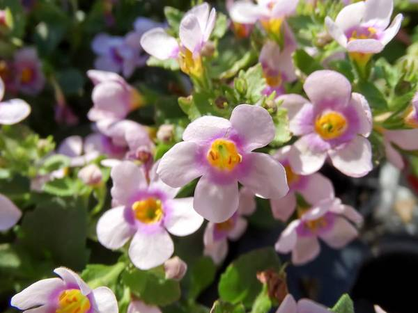 Bacopa Photograph - Close-up Of Bacopa by Cynthia Woods