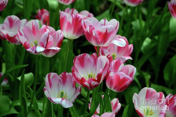 Photograph - Close-up Of Blossoming Red And White Tulips In A Field by Imran Ahmed