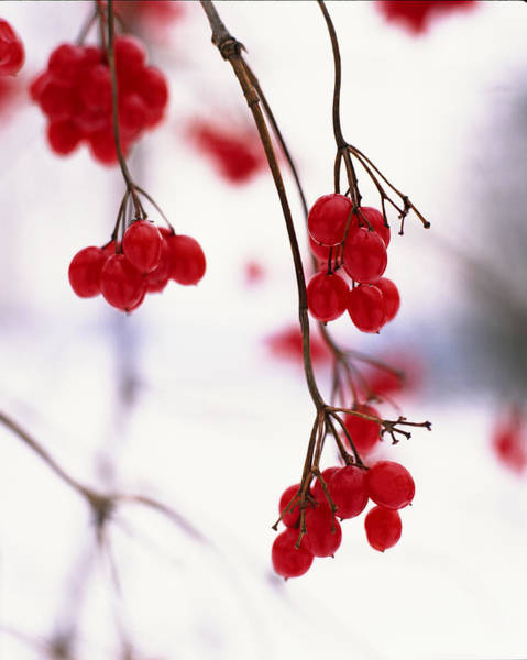 Wall Art - Photograph - Close-up Of Branches With Red Berries by Gillham Studios
