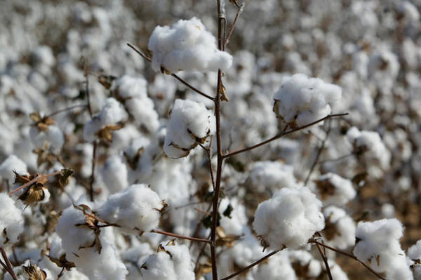 Wellington Photograph - Close-up Of Cotton Plants In A Field by Panoramic Images