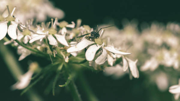 Photograph - Close Up Of Cow Parsley D by Jacek Wojnarowski