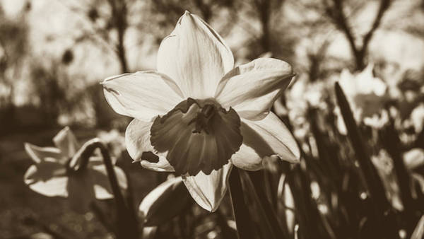 Photograph - Close Up Of Daffodil Flower by Jacek Wojnarowski