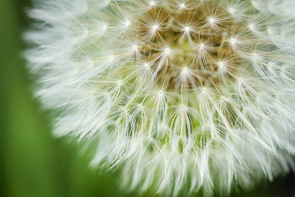 Photograph - Close Up Of Dandelion Bloom by Teri Virbickis