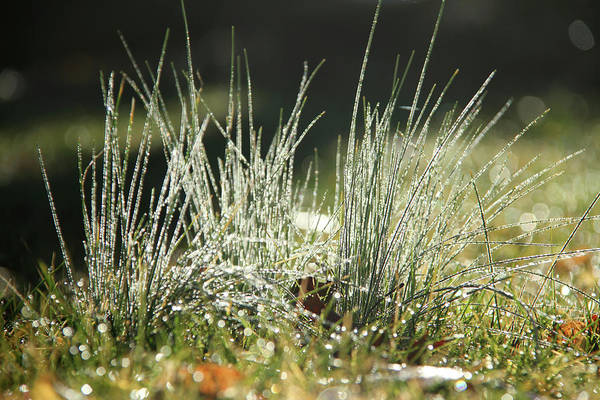 Photograph - Close-up Of Dew On Grass, In A Sunny, Humid Autumn Morning by Emanuel Tanjala