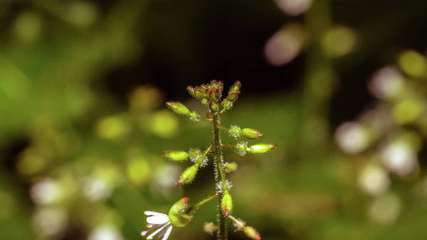 Photograph - Close Up Of Enchanter's Nightshade B by Jacek Wojnarowski