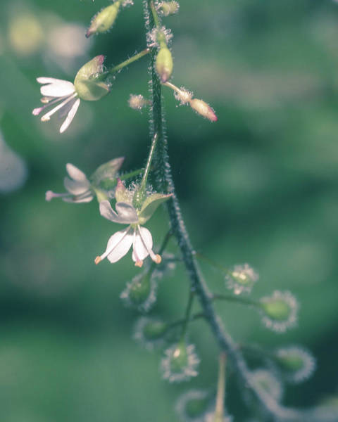 Photograph - Close Up Of Enchanter's Nightshade G by Jacek Wojnarowski