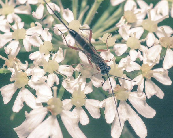 Photograph - Close Up Of Insect On Cow Parsley A by Jacek Wojnarowski