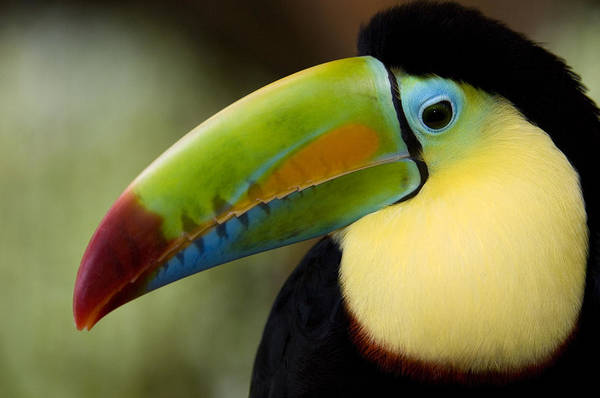 Wall Art - Photograph - Close-up Of Keel-billed Toucan by Panoramic Images