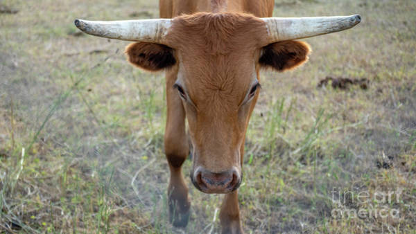 Photograph - Close Up Of Longhorn Head Through Fence by PorqueNo Studios