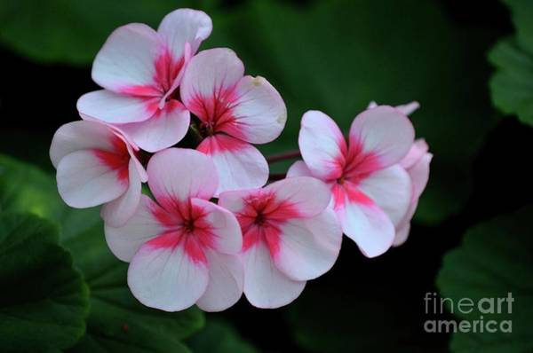 Photograph - Close Up Of Pink Violet And White Flowers With Stamen by Imran Ahmed